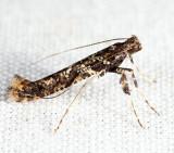 0637 - Caloptilia serotinella