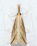 5319 - Long-beaked Donacaula - Donacaula longirostrellus