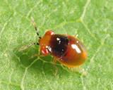 Geocoridae nymph