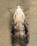 5630.1 - Aphomia fulminalis