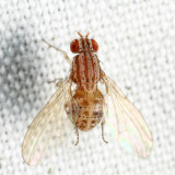 Poecilolycia sp.