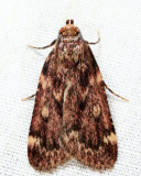 5518 - Grease Moth - Aglossa cuprina
