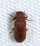 Ptinidae