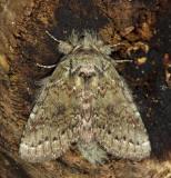 7995 – Wavy-Lined Heterocampa Moth – Heterocampa biundata