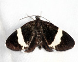 7430 - White-striped Black - Trichodezia albovittata