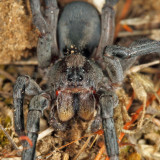 Geolycosa sp. (Burrowing Wolf Spider)