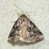 9035 - White-lined Graylet - Hyperstrotia nana