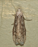 5630 - Terrenella Bee Moth - Aphomia terrenella