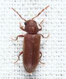 Oligomerus sp.