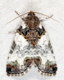 9062 - Tufted Bird-Dropping Moth - Cerma cerintha