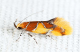1046 - Orange-headed Epicallima - Epicallima argenticinctella