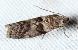 5787 - Meroptera pravella