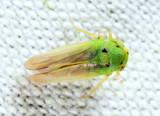 Macropsis sp.