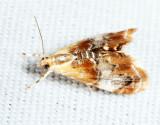 4889 - Julia's Dicymolomia Moth - Dicymolomia julianalis