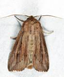 10449 - Leucania insueta