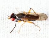 Pteromicra sp.