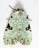 9065 - Green Leuconycta - Leuconycta diphteroides