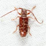 Eupogonius tomentosus