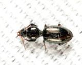 Dyschirius sp.