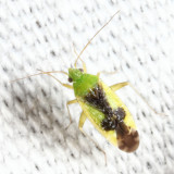 Ornate Plant Bug - Reuteroscopus ornatus