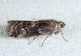 5771 - Salebriaria turpidella
