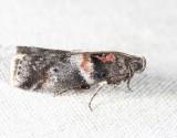 5775 - Salebriaria tenebrosella