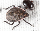 Brochymena sp. nymph