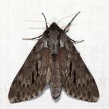 7816 - Southern Pine Sphinx - Lapara coniferarum