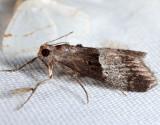 5595 - Pine Webworm - Pococera robustella