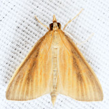 4937 – Streaked Orange Moth – Nascia acutella