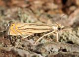 5391 - Cranberry Girdler - Chrysoteuchia topiarius