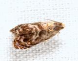 3429 - Lesser Appleworm Moth - Grapholita prunivora