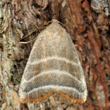 9169 - Straight Lined Mallow Moth - Bagisara rectifascia