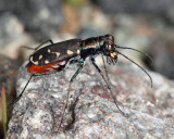 Eastern Red-bellied Tiger Beetle