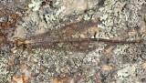 Brachynemurus abdominalis