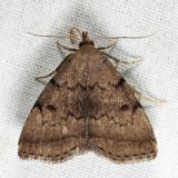 8349.1 - Zanclognatha dentata