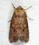 10532.1 - Southern Scurfy Quaker - Homorthodes lindseyi