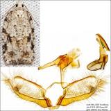 3540 - Black-headed Birch Leaffolder - Acleris placidana