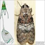 5608 - Striped Oak Webworm Moth - Pococera expandens
