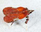 5552 - Boxwood Leaftier - Galasa nigrinodis