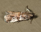 5653 - Cranberry Fruitworm Moth - Acrobasis vaccinii