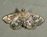 Anania sp. (coronata species complex)
