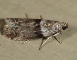 5787 - Lesser Aspen Webworm Moth - Meroptera pravella