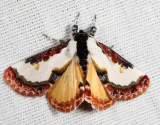 9299 - Pearly Wood-Nymph - Eudryas unio