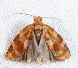 3602 – Pine Tube Moth – Argyrotaenia pinatubana
