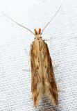 1685 - Burdock Seedhead Moth - Metzneria lappella
