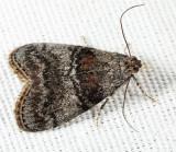 5606 – Maple Webworm Moth – Pococera asperatella