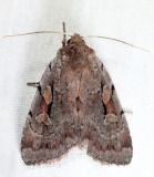 10968.1 - Praevia Dart Moth - Xestia praevia