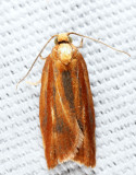 3548 - Eastern Black-headed Budworm Moth - Acleris variana