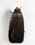 9647 - Miranda Moth - Proxenus miranda